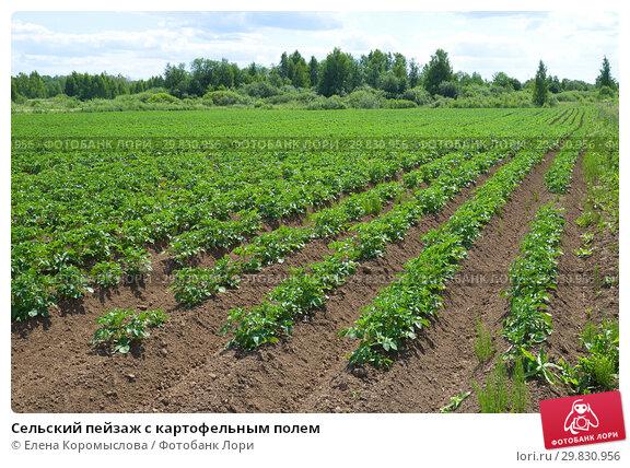 Купить «Сельский пейзаж с картофельным полем», фото № 29830956, снято 27 июня 2018 г. (c) Елена Коромыслова / Фотобанк Лори