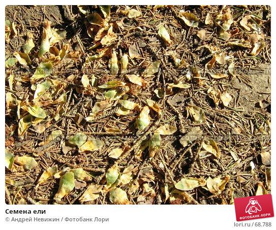 Семена ели, фото № 68788, снято 22 июля 2007 г. (c) Андрей Невижин / Фотобанк Лори