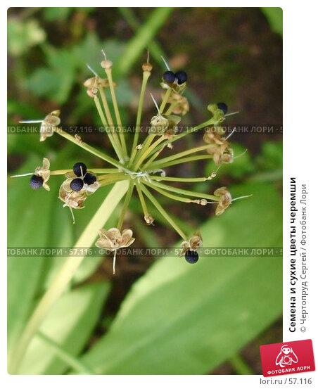 Семена и сухие цветы черемши, фото № 57116, снято 1 июля 2007 г. (c) Чертопруд Сергей / Фотобанк Лори