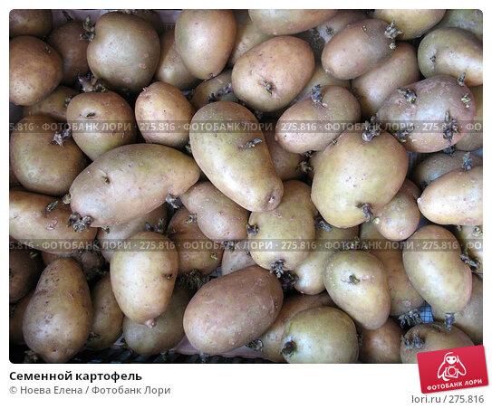 Купить «Семенной картофель», фото № 275816, снято 2 мая 2008 г. (c) Ноева Елена / Фотобанк Лори