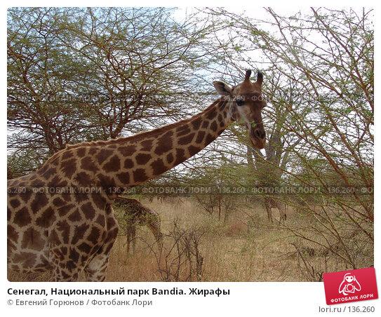 Сенегал, Национальный парк Bandia. Жирафы, фото № 136260, снято 1 декабря 2007 г. (c) Евгений Горюнов / Фотобанк Лори