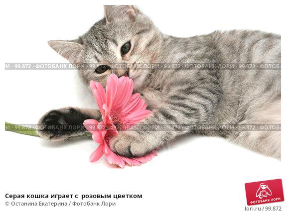 Серая кошка играет с  розовым цветком, фото № 99872, снято 16 октября 2007 г. (c) Останина Екатерина / Фотобанк Лори