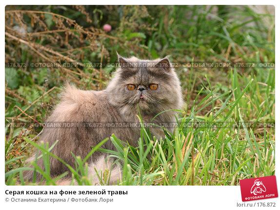 Купить «Серая кошка на фоне зеленой травы», фото № 176872, снято 18 сентября 2005 г. (c) Останина Екатерина / Фотобанк Лори
