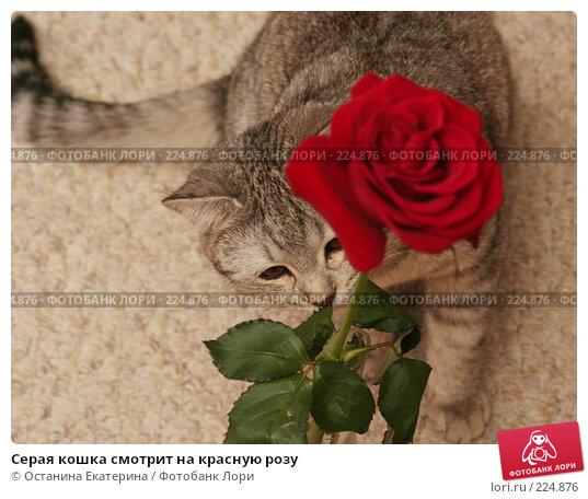 Серая кошка смотрит на красную розу, фото № 224876, снято 15 января 2008 г. (c) Останина Екатерина / Фотобанк Лори