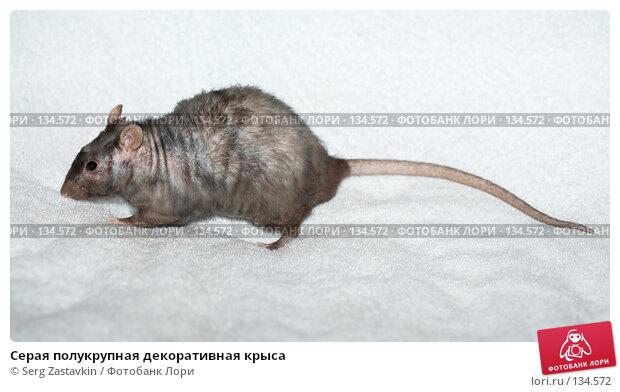 Серая полукрупная декоративная крыса, фото № 134572, снято 11 октября 2006 г. (c) Serg Zastavkin / Фотобанк Лори