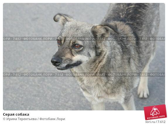 Серая собака, эксклюзивное фото № 7612, снято 1 июня 2006 г. (c) Ирина Терентьева / Фотобанк Лори