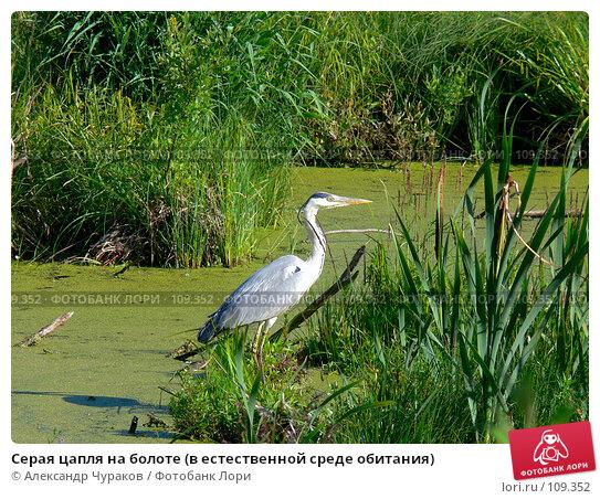 Серая цапля на болоте (в естественной среде обитания), фото № 109352, снято 2 июля 2006 г. (c) Александр Чураков / Фотобанк Лори