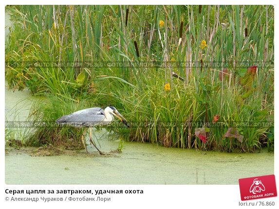 Серая цапля за завтраком, удачная охота, фото № 76860, снято 1 июля 2007 г. (c) Александр Чураков / Фотобанк Лори