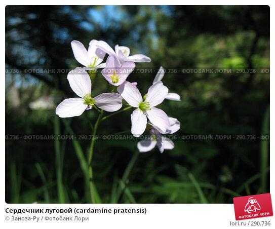 Купить «Сердечник луговой (cardamine pratensis)», фото № 290736, снято 17 мая 2008 г. (c) Заноза-Ру / Фотобанк Лори