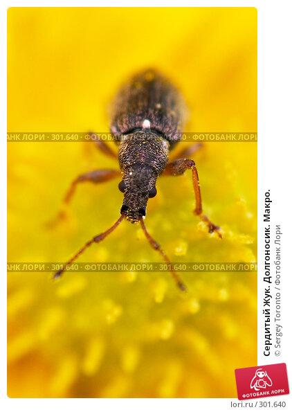 Сердитый Жук. Долгоносик. Макро., фото № 301640, снято 11 мая 2008 г. (c) Sergey Toronto / Фотобанк Лори