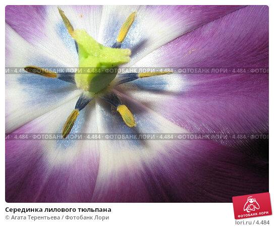 Купить «Серединка лилового тюльпана», фото № 4484, снято 25 мая 2006 г. (c) Агата Терентьева / Фотобанк Лори