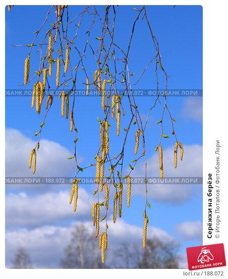 Серёжки на берёзе, фото № 188072, снято 27 ноября 2004 г. (c) Игорь Потапов / Фотобанк Лори