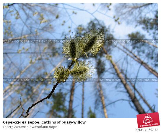 Сережки на вербе. Catkins of pussy-willow, фото № 130164, снято 7 мая 2005 г. (c) Serg Zastavkin / Фотобанк Лори