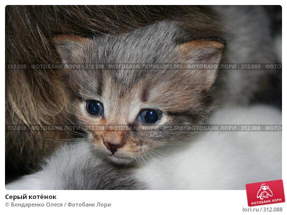 Серый котёнок, фото № 312088, снято 24 августа 2006 г. (c) Бондаренко Олеся / Фотобанк Лори