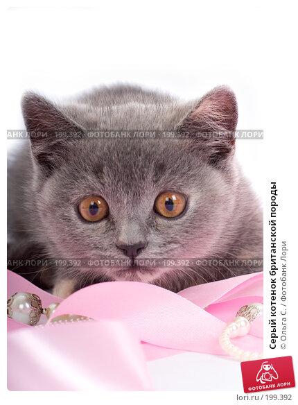 Серый котенок британской породы, фото № 199392, снято 29 мая 2007 г. (c) Ольга С. / Фотобанк Лори