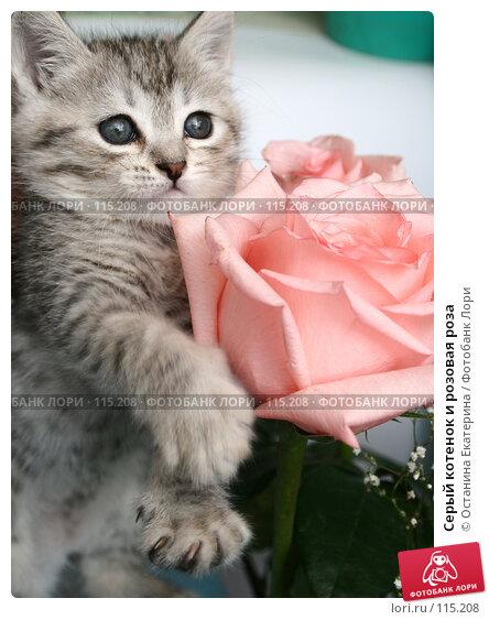 Серый котенок и розовая роза, фото № 115208, снято 13 июля 2007 г. (c) Останина Екатерина / Фотобанк Лори