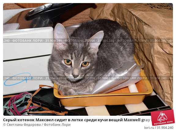 Серый котенок Максвел сидит в лотке среди кучи вещей Maxwell gray kitten sits in a tray among a bunch of things (2019 год). Редакционное фото, фотограф Светлана Федорова / Фотобанк Лори
