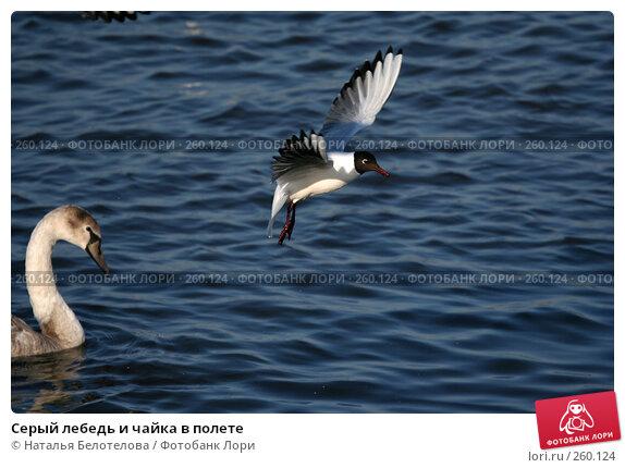 Серый лебедь и чайка в полете, фото № 260124, снято 29 марта 2008 г. (c) Наталья Белотелова / Фотобанк Лори