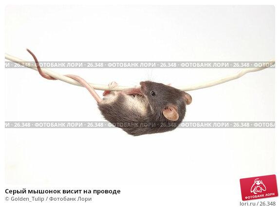 Серый мышонок висит на проводе, фото № 26348, снято 18 марта 2007 г. (c) Golden_Tulip / Фотобанк Лори