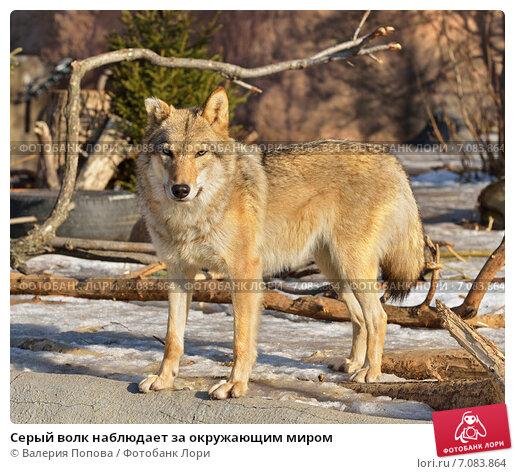 Купить «Серый волк наблюдает за окружающим миром», фото № 7083864, снято 26 февраля 2015 г. (c) Валерия Попова / Фотобанк Лори