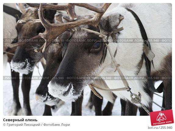 Северный олень, фото № 255940, снято 16 марта 2008 г. (c) Григорий Писоцкий / Фотобанк Лори
