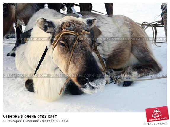 Северный олень отдыхает, фото № 255944, снято 16 марта 2008 г. (c) Григорий Писоцкий / Фотобанк Лори