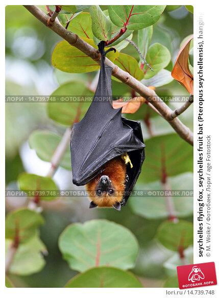seychelles flying fox, seychelles fruit bat (Pteropus seychellensis), hanging in a tree, Seychelles, Mahe, фото № 14739748, снято 30 августа 2013 г. (c) age Fotostock / Фотобанк Лори