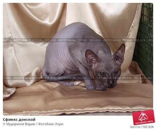 Сфинкс донской, фото № 165924, снято 20 марта 2005 г. (c) Мударисов Вадим / Фотобанк Лори
