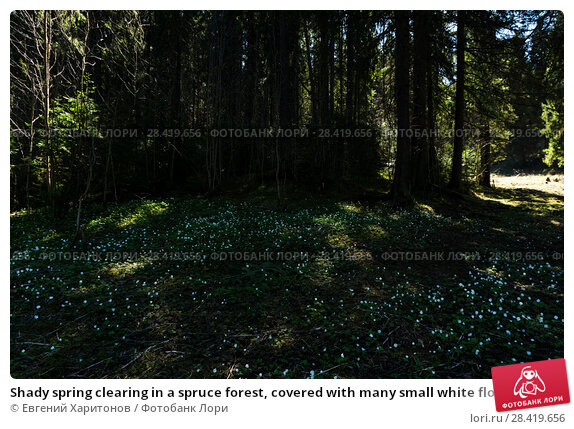 Купить «Shady spring clearing in a spruce forest, covered with many small white flowers of snowdrops», фото № 28419656, снято 12 мая 2018 г. (c) Евгений Харитонов / Фотобанк Лори