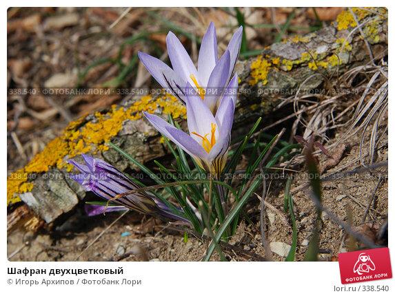 Шафран двухцветковый, фото № 338540, снято 25 марта 2017 г. (c) Игорь Архипов / Фотобанк Лори