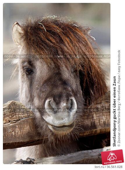 Shetlandpony guckt über einen Zaun. Стоковое фото, фотограф Zoonar.com/Martina Berg / easy Fotostock / Фотобанк Лори