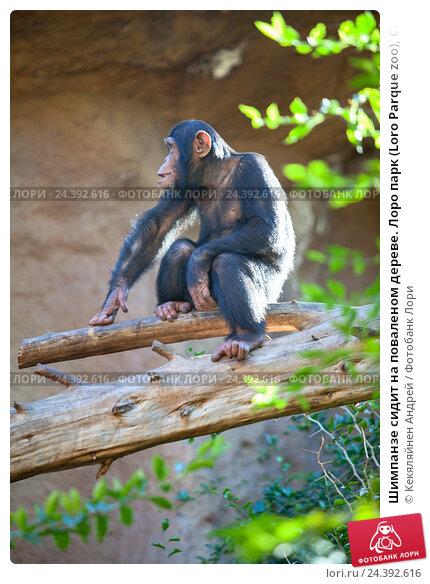 Купить «Шимпанзе сидит на поваленом дереве. Лоро парк (Loro Parque zoo), Санта Круз, Тенерифе, Канарские острова», фото № 24392616, снято 4 января 2016 г. (c) Кекяляйнен Андрей / Фотобанк Лори