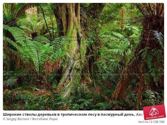 Купить «Широкие стволы деревьев в тропическом лесу в пасмурный день, Австралия», фото № 3138196, снято 19 июня 2008 г. (c) Sergey Borisov / Фотобанк Лори