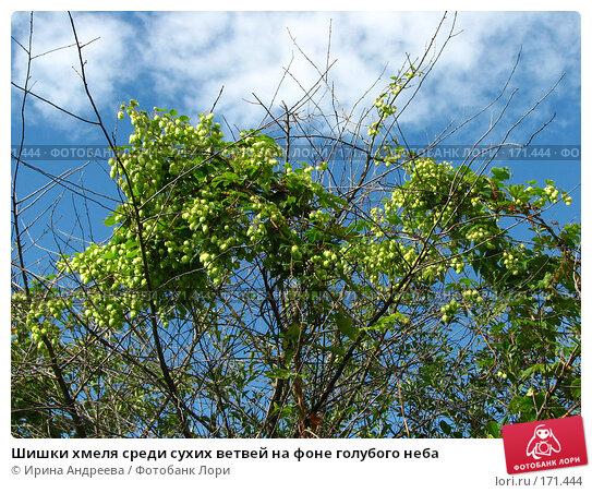 Шишки хмеля среди сухих ветвей на фоне голубого неба, фото № 171444, снято 27 августа 2006 г. (c) Ирина Андреева / Фотобанк Лори