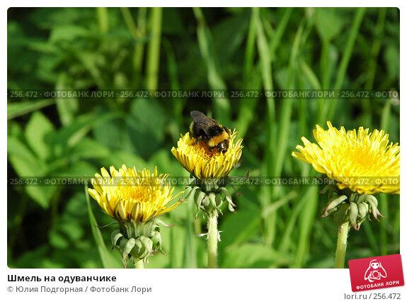 Купить «Шмель на одуванчике», фото № 256472, снято 8 июня 2005 г. (c) Юлия Селезнева / Фотобанк Лори