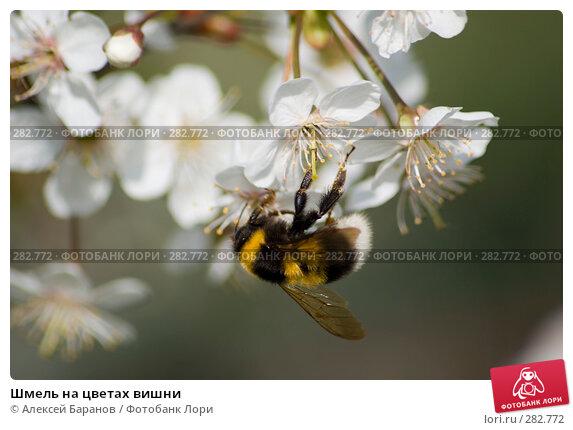 Шмель на цветах вишни, фото № 282772, снято 10 мая 2008 г. (c) Алексей Баранов / Фотобанк Лори