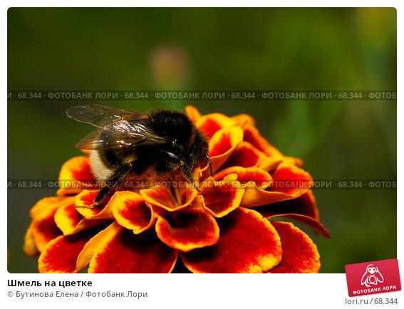 Купить «Шмель на цветке», фото № 68344, снято 4 августа 2007 г. (c) Бутинова Елена / Фотобанк Лори