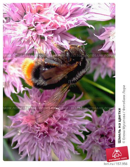 Шмель на цветке, фото № 157956, снято 11 июня 2005 г. (c) Елена Мусатова / Фотобанк Лори
