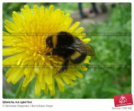 Шмель на цветке, фото № 318100, снято 8 июня 2008 г. (c) Евгения Лаврова / Фотобанк Лори