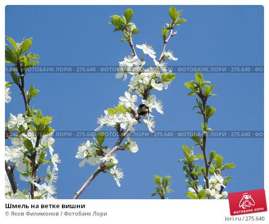 Шмель на ветке вишни, фото № 275640, снято 1 мая 2008 г. (c) Яков Филимонов / Фотобанк Лори