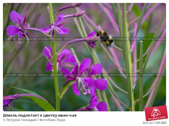 Шмель подлетает к цветку иван-чая, фото № 169880, снято 8 июля 2007 г. (c) Петухов Геннадий / Фотобанк Лори