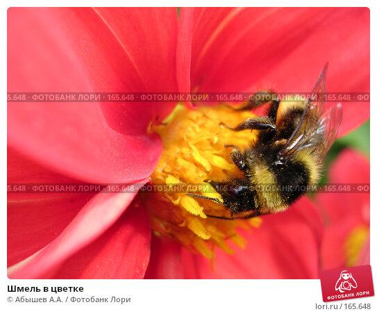 Шмель в цветке, фото № 165648, снято 2 сентября 2006 г. (c) Абышев А.А. / Фотобанк Лори