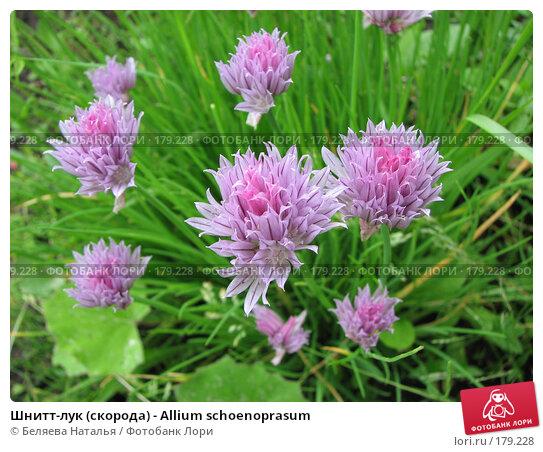 Шнитт-лук (скорода) - Allium schoenoprasum, фото № 179228, снято 8 июля 2007 г. (c) Беляева Наталья / Фотобанк Лори