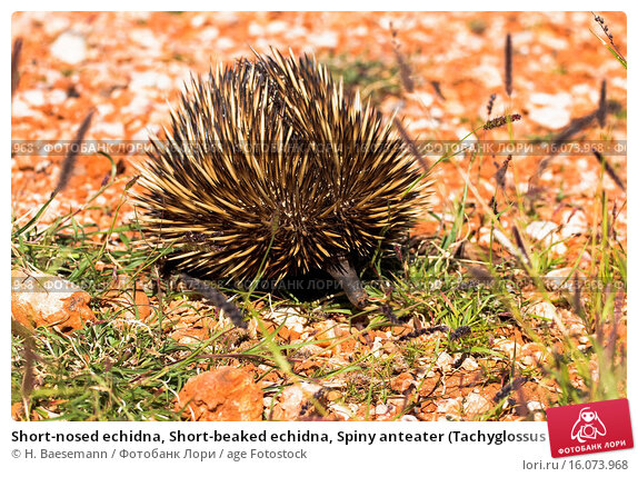 characteristics of echidnas spiny anteaters Echidnas, or spiny anteaters puggles snuggle down in sydney after rare echidna zoo births.