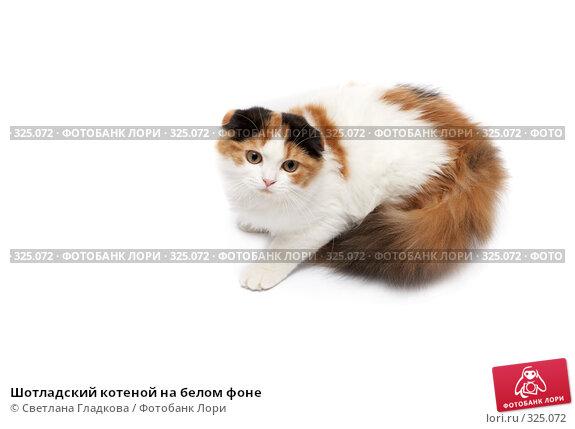 Купить «Шотладский котеной на белом фоне», фото № 325072, снято 12 апреля 2008 г. (c) Cветлана Гладкова / Фотобанк Лори