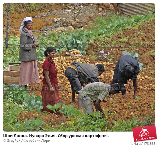 Шри Ланка. Нувара Элия. Сбор урожая картофеля., фото № 173368, снято 9 января 2008 г. (c) GrayFox / Фотобанк Лори