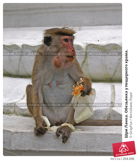 Шри Ланка. Обезьянка у пещерного храма., фото № 204096, снято 8 января 2008 г. (c) GrayFox / Фотобанк Лори