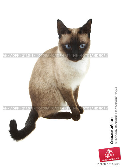 Сиамский кот, фото № 214548, снято 1 марта 2008 г. (c) Коваль Василий / Фотобанк Лори