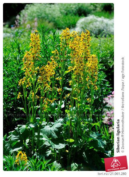 Купить «Siberian ligularia», фото № 21061280, снято 10 июня 2019 г. (c) age Fotostock / Фотобанк Лори