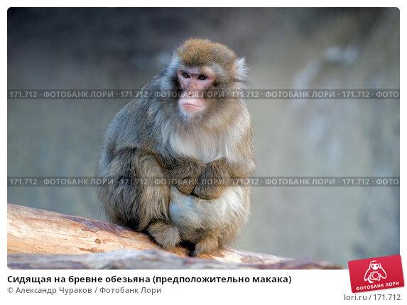 Сидящая на бревне обезьяна (предположительно макака), фото № 171712, снято 1 января 2008 г. (c) Александр Чураков / Фотобанк Лори